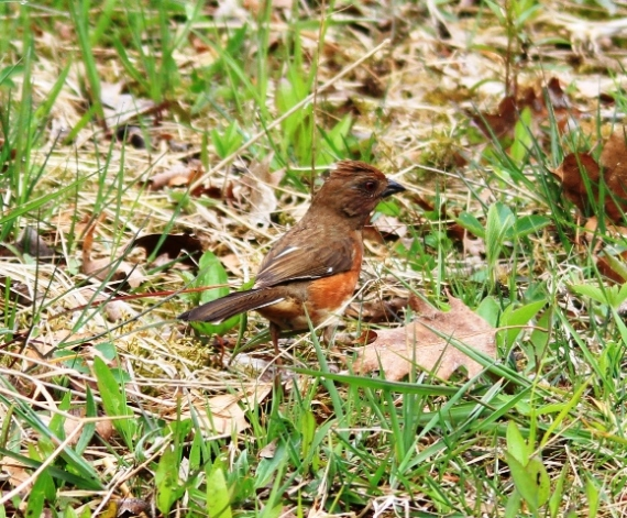 Eastern Towhee - female