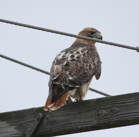 2013_10_19_Red-tailed hawk