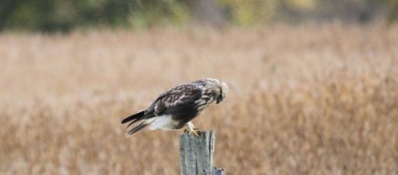 2013_10_24_Rough-legged Hawk