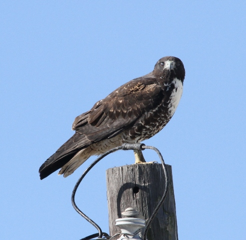 Harlan's Hawk (sub-species of the Red-tailed Hawk)