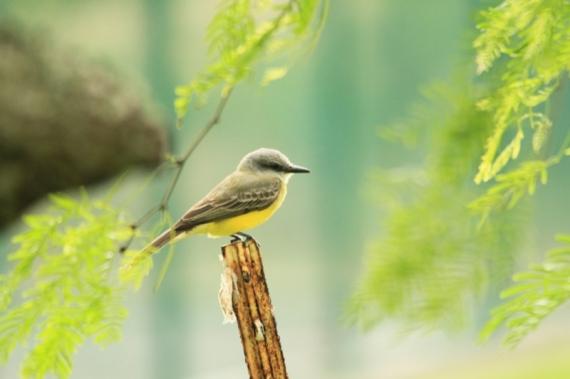 Couch's/Tropical Kingbird