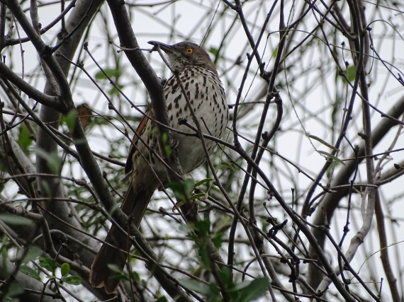 long-billed-thrasher-at-estero-january-19-2017