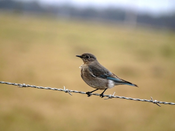 mountain-bluebird