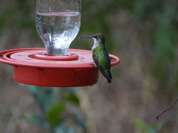 ruby-throated-hummingbird-at-estero-january-19-2017