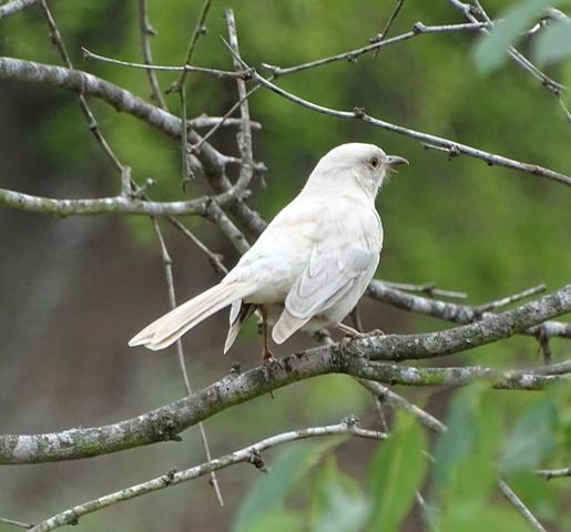 Mockingbird - leucistic-albino