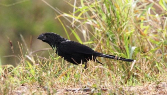Groove-billed Ani at National Butterfly Centre